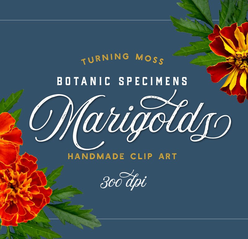 Marigolds – Botanic Specimens