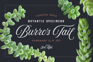 Burro's Tail – Botanic Specimens
