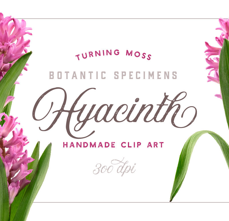 Hyacinth – Botanic Specimens