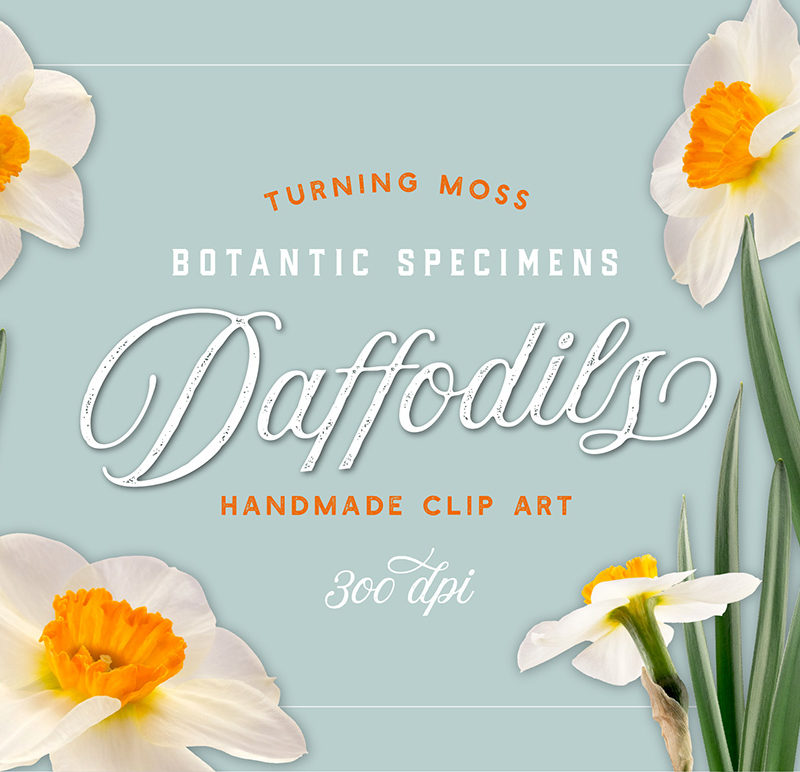 Daffodils – Botanic Specimens